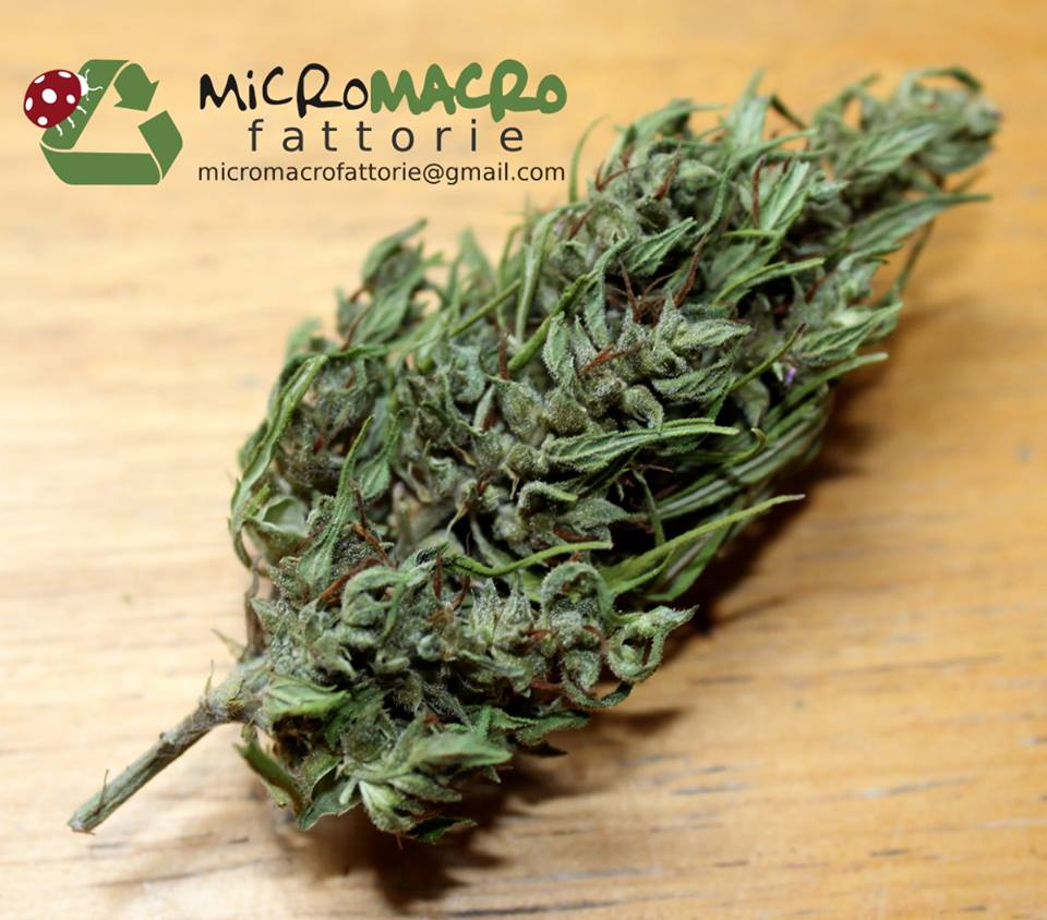 Cannabis light, marijuana legale biologica Micro Macro Fattorie