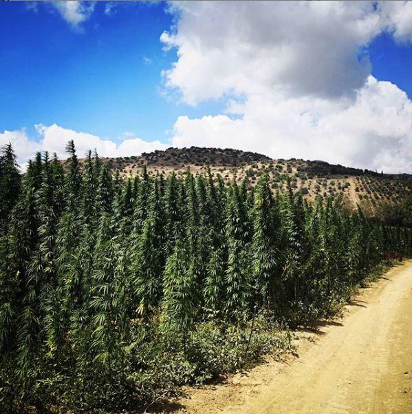 Campo di cannabis light