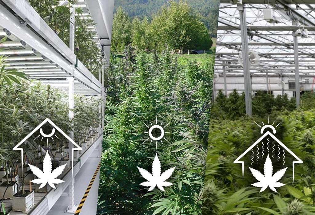 scelta cannabis light